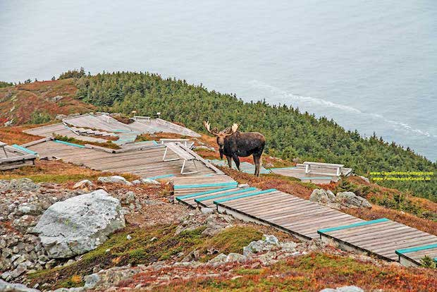 moose-skyline-trail-cape-breton_1727.jpg