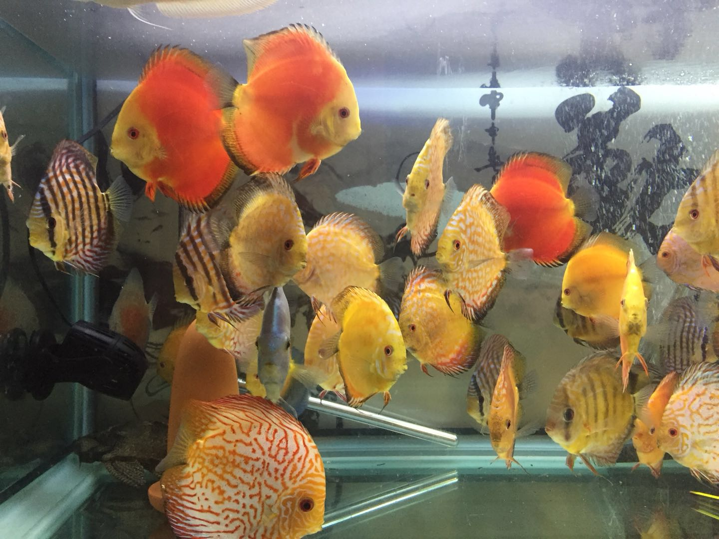 DISCUS SELL3.jpeg